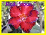 Red Papua